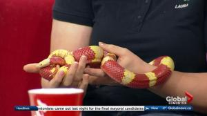 Edmonton Valley Zoo: Nouvel the albino Nelson's milksnake